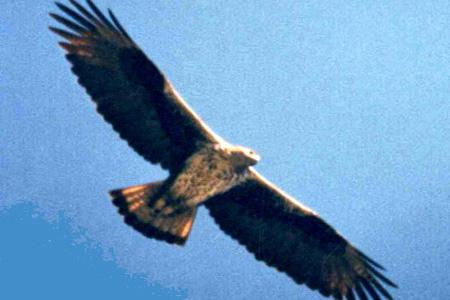 Aquila del Bonelli